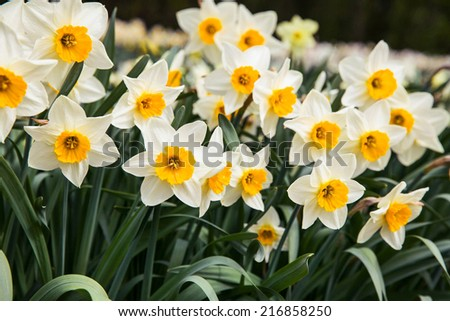 white daffodils in spring time - stock photo