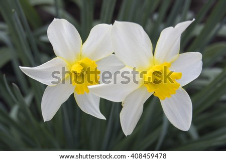 White daffodils in the garden - stock photo