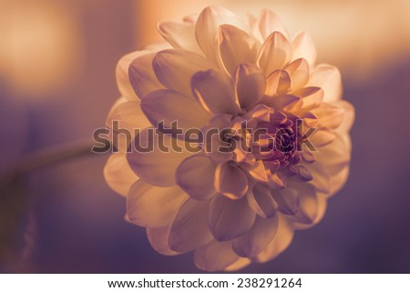 White dahlia. Color toned. Selective focus with shallow depth of field. - stock photo