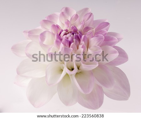 White dahlia with violet heart close-up , floral background. - stock photo