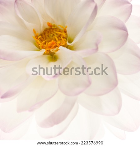 White dahlia with yellow heart close-up , floral background. - stock photo