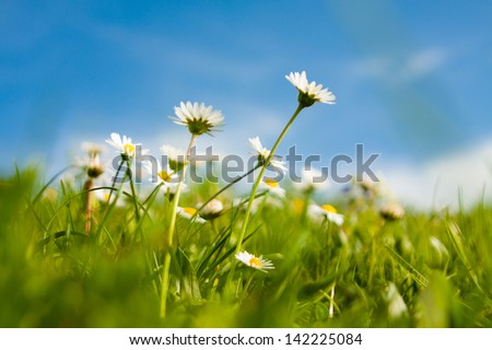 white daisies field and sky - stock photo