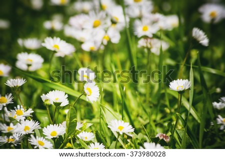 White Daisies Field Background - stock photo