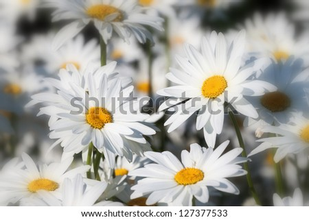 White daisies flower field background