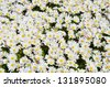 White daisies flower spring background  - stock photo