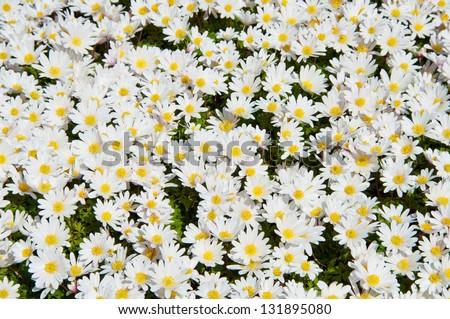 White daisies flower spring background - stock photo