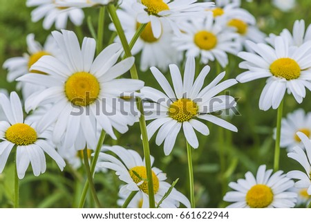 white daisies flowers with selective focus