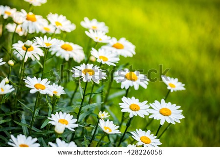 White daisies growing in a spring garden
