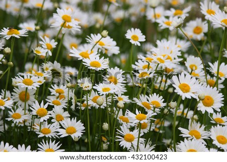 White daisies in summer on a green flowerbed
