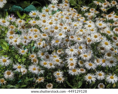White daisies on a bed in the garden - stock photo
