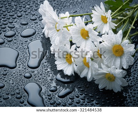 White daisies on black background with waterdrops - stock photo