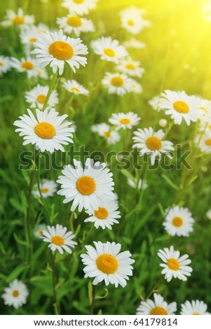 White daisies on bright summer day.