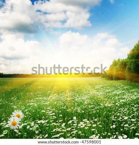 White daisies,trees and sun.