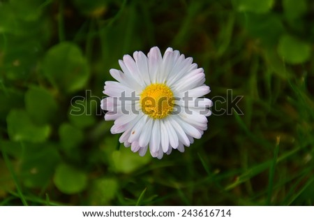 white daisy flower - stock photo