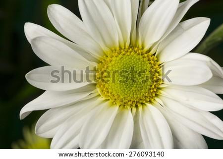 White Daisy Flower - stock photo