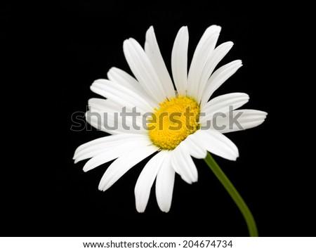 white daisy flower against black background - stock photo