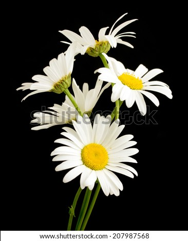 white daisy flower against black background - stock photo