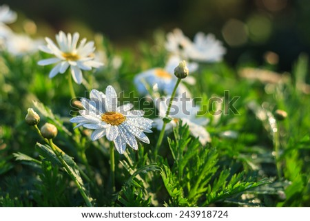 white daisy flower in garden - stock photo