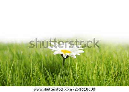 White daisy flower in green grass isolated on white background - stock photo