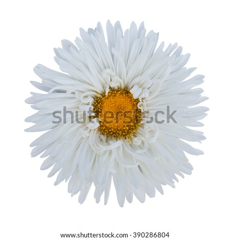white  daisy  flower isolated on white background,way in paths - stock photo