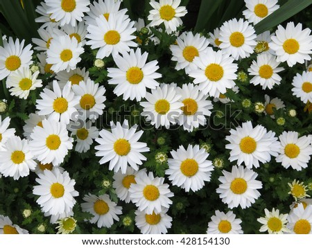 white daisy flower texture background, natural background - stock photo