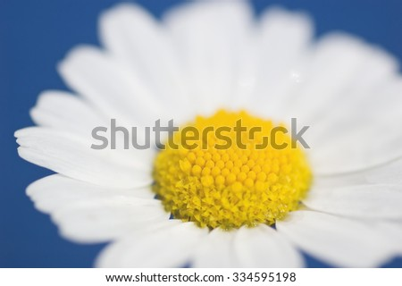 White daisy flower wet after rain against blue background closeup - stock photo