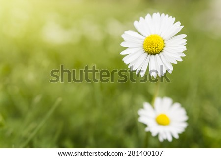 White daisy flower with green blured background