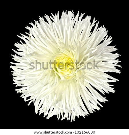 White Daisy Flower with Yellow Center Isolated on Black Background. Bellis perennis - English Daisy - Asteraceae Macro - stock photo