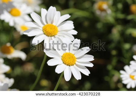 daisies stock images, royaltyfree images  vectors  shutterstock, Beautiful flower