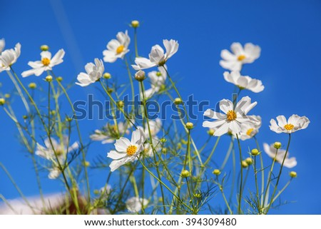 White daisy flowers against blue sky background