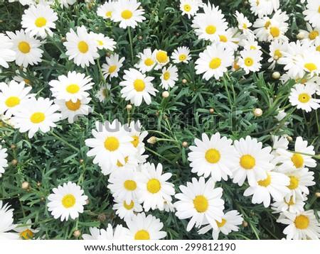 White daisy flowers background. Camomile flowers - stock photo