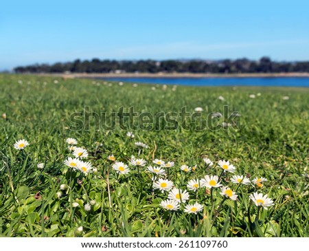 White daisy flowers growing in grassy field close up. Low angle view, shallow depth of field. Distant river and trees in blurred background.   - stock photo
