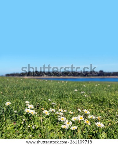 White daisy flowers growing in grassy field. Low angle view, shallow depth of field. Distant river and trees in blurred background. Room for text, copy space with lots of blue sky.  - stock photo