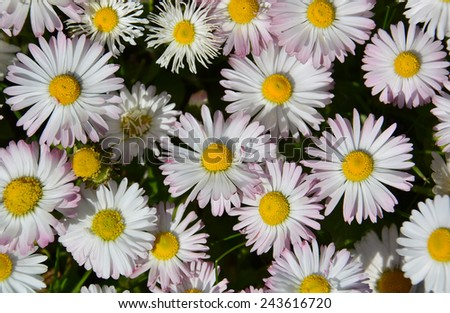 white daisy flowers in a grass - stock photo