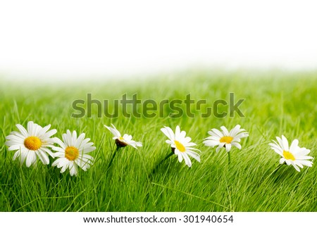 White daisy flowers in green grass isolated on white background - stock photo