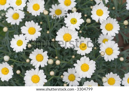 White daisy flowers taken from above.