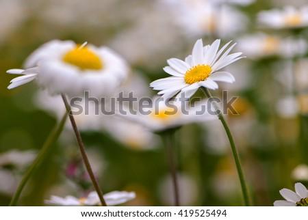 white Daisy Leucanthemum vulgare in field  - stock photo