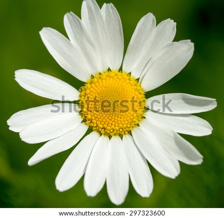 white daisy on a green background - stock photo