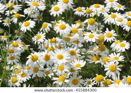 White daisy on a meadow - stock photo