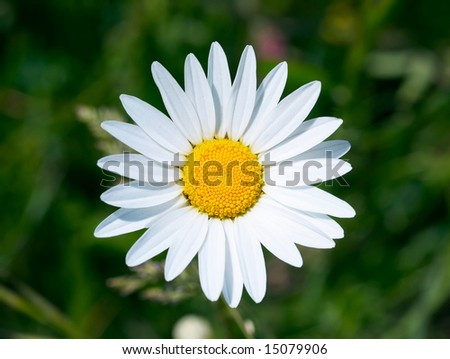 White daisy on green grass background