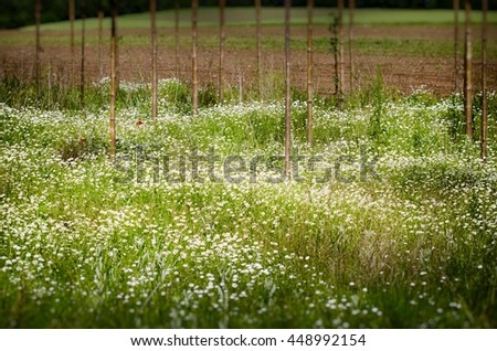 White Daisy Summer Field With Straight  Trees - stock photo