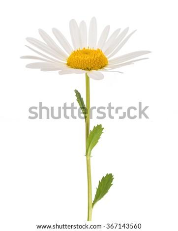 White daisy with stem isolated on white background - stock photo