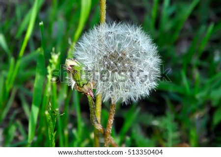 White dandelion among green grass