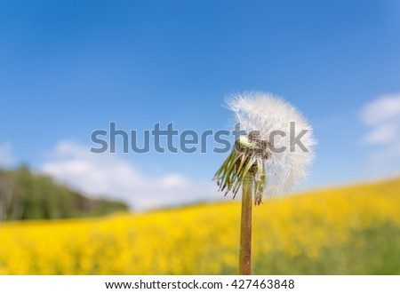 White dandelion close up against the blue sky and yellow field with copy-space