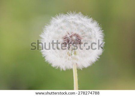 white dandelion closeup on green blurred grass background - stock photo
