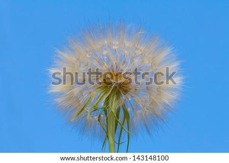 white dandelion flower on a blue sky background - stock photo