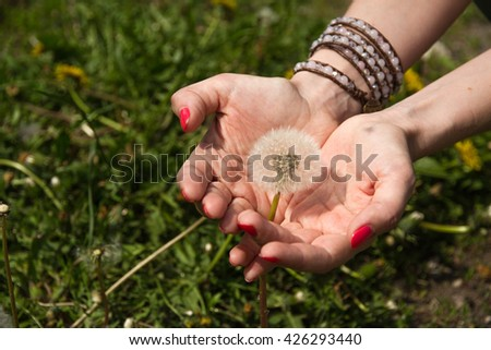 White dandelion in female hands on a green background/ Dandelion in female hands/ blowball