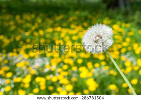 White dandelion in front of green field full of yellow dandelions.