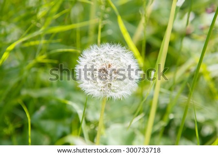 White dandelion in the field. Gardening. Flora. Rural nature. The flower bed in the Park. The flower bed. Wildlife. Chamomile. Meadow in the woods. Flowers summer. Blowball. - stock photo