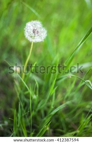 White dandelion in the green grass  - stock photo